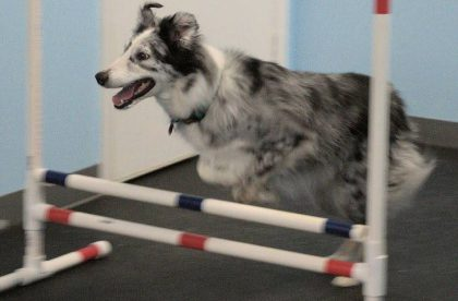 Agility for Fun Group Class - Jenga - Cary NC