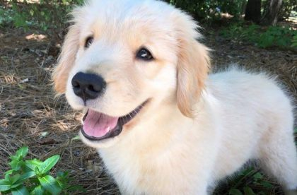 Puppy Starters Group Class - Sophie - Cary NC
