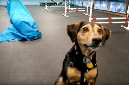 Agility for Fun Group Class - Hank - Cary NC