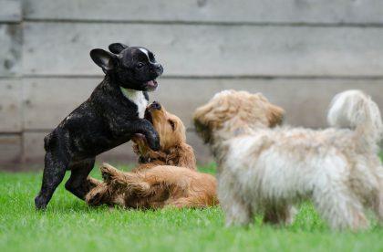 puppysmalldogsocial